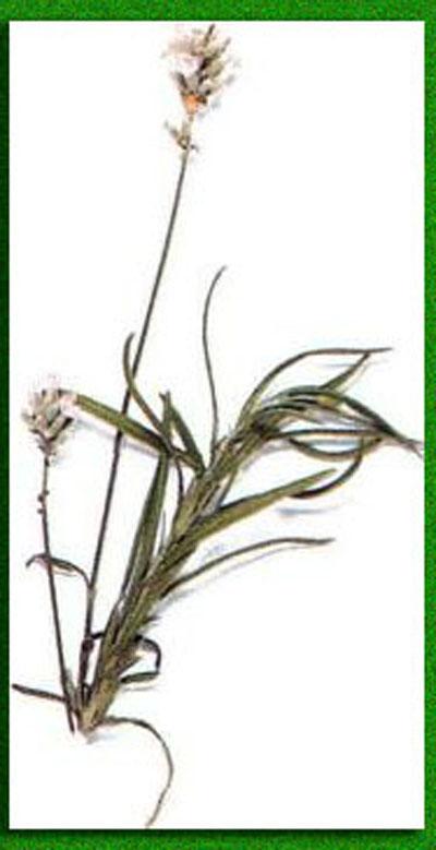 Сбор из...  Народное лечении крапивницы включает использование лекарственных трав и растений, очищающих кровь.